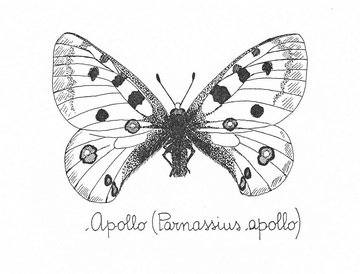 Apollo (Parnassius, apollo)