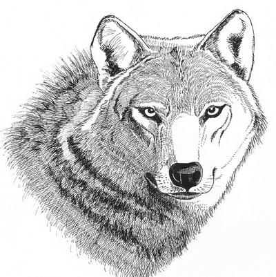 il-lupo--nelle-alpi-orientali-associazione-naturalistica-sandonatese-michele-zanetti-giuseppe-tormen